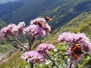 tatrzańskie rośliny na tle panoramy Tatr