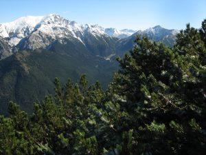 kosodrzewina i panorama ośnieżonych Tatr