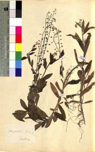 zdjęcie roślin z zielnika dr Chałubińskiego