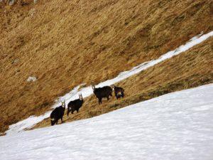 kozice na tatrzańskim zboczu widoczne płaty śniegu