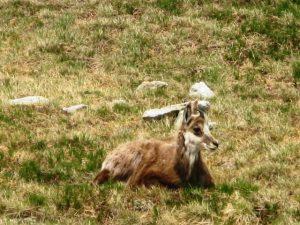 siedząca na tatrzańskiej polanie kozica