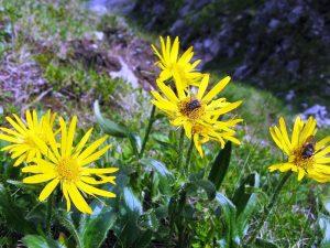 tatrzańskie żółte kwiatki na polanie