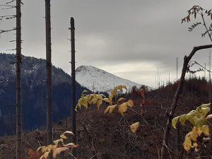 kikuty drzew w dolinie Lejowej