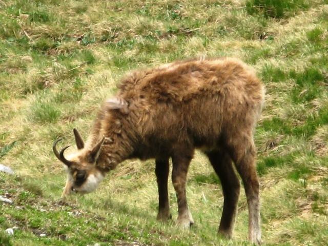 tatrzańska kozica w Tatrach