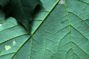 faktura czyli żyłki na liściu jednej z roślin