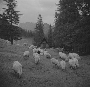 czarno-białe zdjęcie, owce na hali, w tle bacówka
